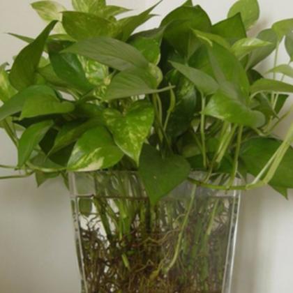 苗木基地低价供应绿色植物花卉 水培绿萝 办公室内桌面迷你小盆栽