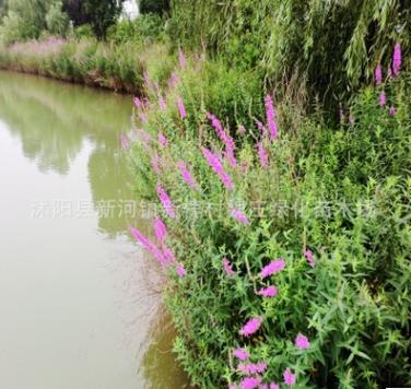 千屈菜 水枝柳 水柳 对叶莲 千屈菜 供应各种水生植物