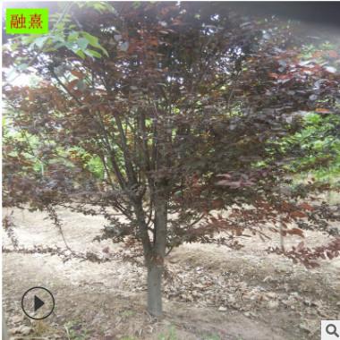供应八棱海棠 4公分-16公分规格 分枝多 园林植物造景树种 海棠树
