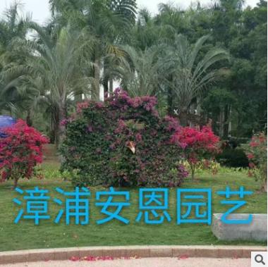漳浦安恩园艺,基地直销 动物造型三角梅盆栽
