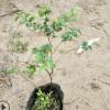 优质印度小叶紫檀树苗正品室内盆景盆栽