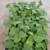 优质龟背竹苗水培土养室内盆栽净化空气绿植