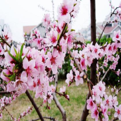 桃花 优良苗木