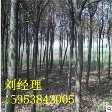 *供应12公分皂角树 规格齐全 3 4 5 6 8 10公分皂角树 树直 皂角
