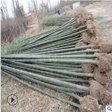 *批发富贵竹子苗 3米4米高 早园竹 1公分2公分3公分青竹 早园竹