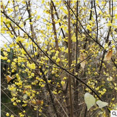 腊梅 基地供应各种规格腊梅树