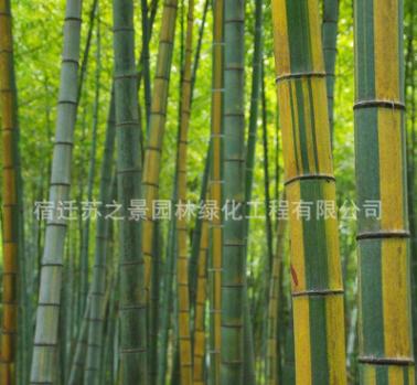 黄金竹基地 种类齐全 绿篱黄金竹苗销售 货源足