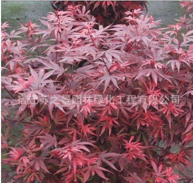 批发工程绿化苗红枫小苗 日本红枫 秋火焰红枫 庭院种植