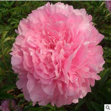 芍药花苗 盆栽地栽花卉芍药 芍药花 芍药种苗 当年可开花