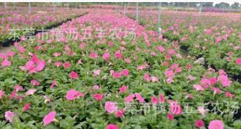矮牵牛多年生东莞深圳广州大量批发多年生草花时花基地直供
