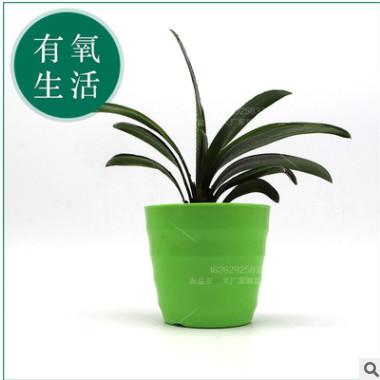 君子兰盆栽室内高档观赏盆栽绿色植物防辐射不含盆办公室植物盆栽