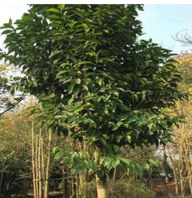 成都基地大量批发直销黄桷兰树苗 工程绿化苗 绿化苗木