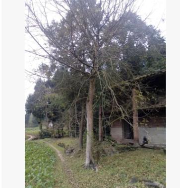 胸径36-48(cm)精品皂角树
