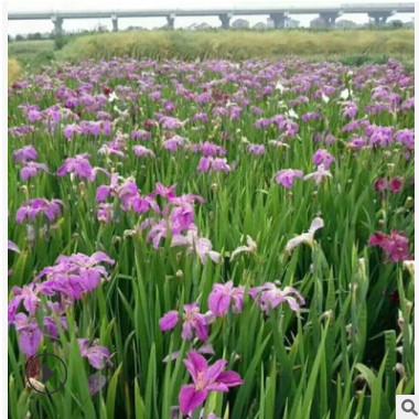 红花常绿鸢尾 水生植物基地 湿地景观工程 河道绿化净化水质处理