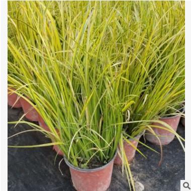 基地农户直销 金叶苔草 石菖蒲水生植物观赏草