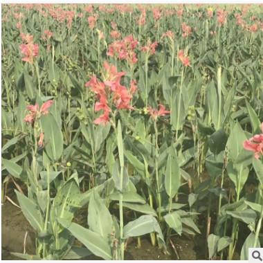旱伞草 水生植物基地 湿地景观工程 河道绿化净化水质处理