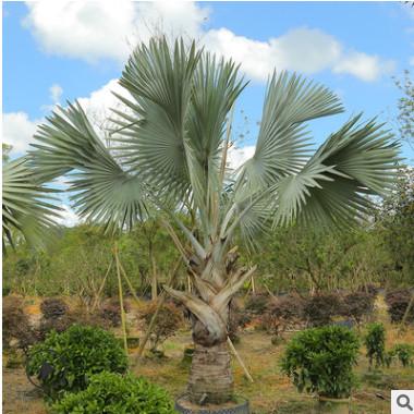 霸王棕俾斯麦榈批量种植供应 多种树龄多种规格 漳浦宏景种植基地