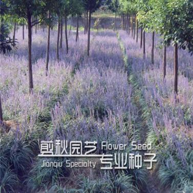 常年销售各种绿化苗木 兰花三七小苗