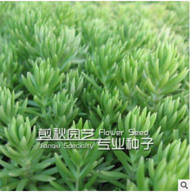 批发佛甲草屋顶绿化专用草坪 抗高温 抗低温 绿化苗木