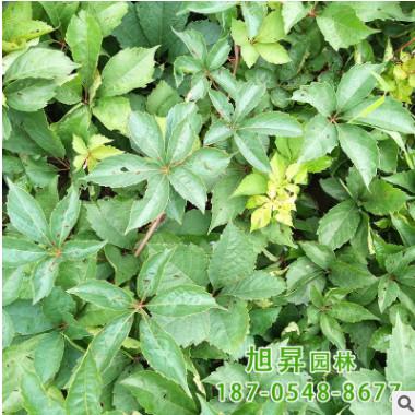 出售庭院爬墙植物五叶地锦苗 家庭小区墙体绿化五叶地锦苗