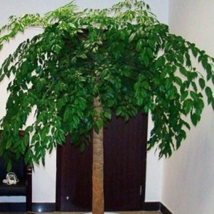厂家直销幸福树、可批发