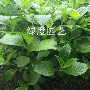 浙江杭州八仙花