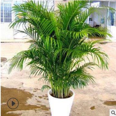 客厅大型绿植物袖珍椰子 盆栽散尾葵 室内盆栽花卉四季常青吸甲醛