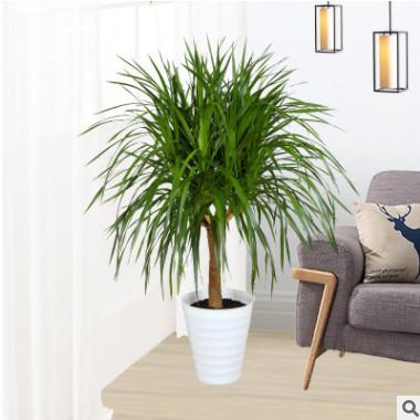 客厅室内大型绿植龙须树 多头龙血树 大龙铁树盆栽花卉吸甲醛植物