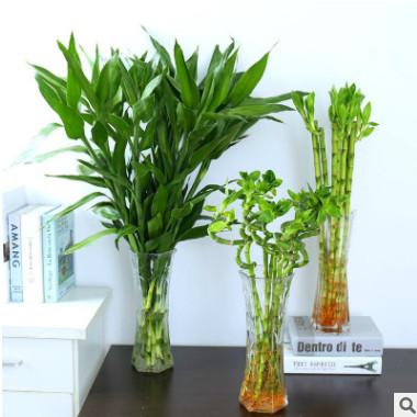 水培植物批发 室内四季水培绿植 办公室花卉植物大叶富贵竹转运竹