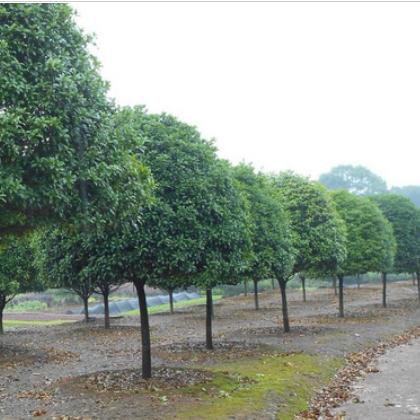 园林绿化红花木莲苗各种常绿乔木行道树红花木莲小苗带土球移植