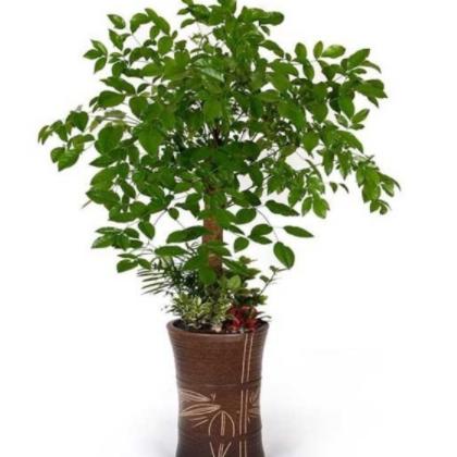 厂家直销幸福树 室内盆景 办公室植物