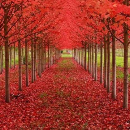 基地供应美国红枫乔木批发 庭荫树