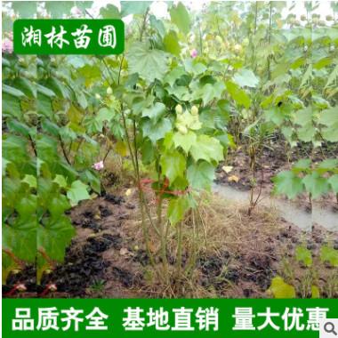 特价批发苗圃直销苗木 木芙蓉 木芙蓉2-10分支 园林绿化植物