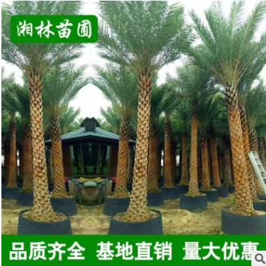中东海枣树大量批发 精选绿化苗木 精品加拿利海枣棕榈树 蒲葵