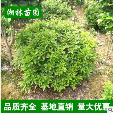 湖南长沙毛杜鹃球 春鹃球 价格实恵精品造型园林绿化苗木庭院常绿