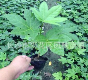 八角金盘产地现货批发成活率高生长旺盛的灌木八角金盘营养杯