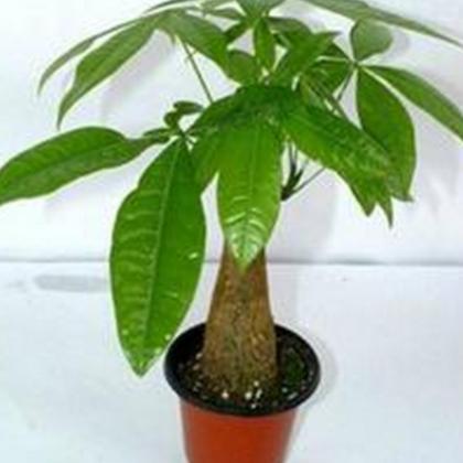 特价人参小榕树大中小榕树创意绿植盆栽 室内桌面花卉盆景发财树