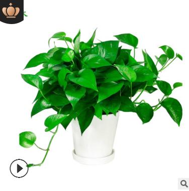 绿萝上海办公室租赁 绿箩租摆室内绿化盆栽植物花卉盆景盆栽批发
