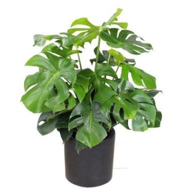龟背竹 办公室新装修 吸甲醛植物