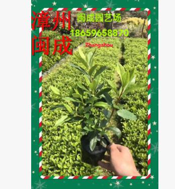 毛杜鹃 锦绣杜鹃 绿化苗木(25-30高分叉)福建漳州