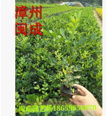 九里香 七里香 绿化苗木(20-25高) 福建漳州