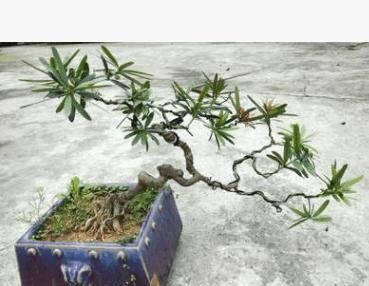 特殊造型红叶罗汉松 精致室内办公室盆栽红叶罗汉松盆景艺术植物