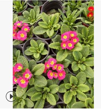 报春花 高25公分左右 又名年景花、樱草、 四季报春