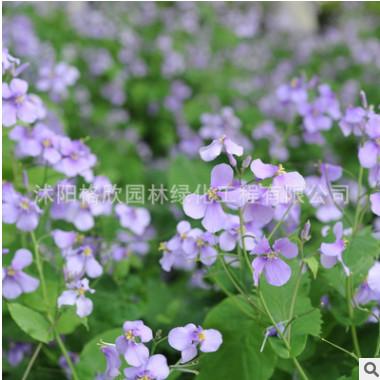 批发优质草花 二月兰种子 园林绿化景观 春播四季 耐阴 耐寒花卉