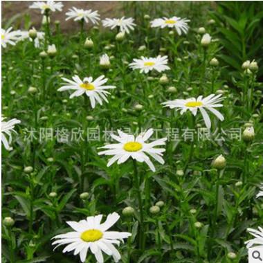 批发出售草花种子 西洋滨菊种子 大滨菊种子耐寒性较强,耐半阴