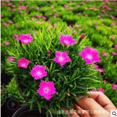 绿化花卉欧石竹盆栽 五彩石竹 常夏欧石竹 耐寒耐旱绿化花卉