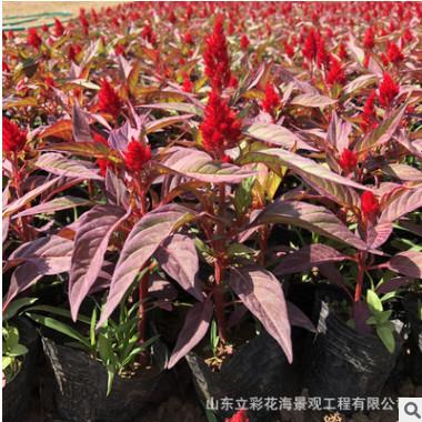 基地直销优质盆栽 鸡冠花 量大从优品种齐全 鸡冠花苗花色纯正