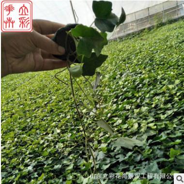 基地直销批发青叶常春藤观叶植物绿植墙小盆栽净化空气藤类花卉