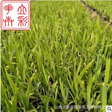 批发优质射干 宿根花卉 哪里有射干 青州花卉基地射干批发