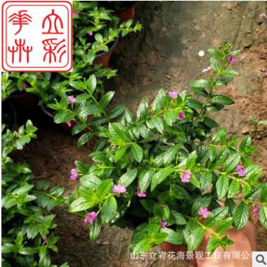 四季开花植物阳台花卉绿色花草 满天星观花盆栽绿植盆景庭院花苗